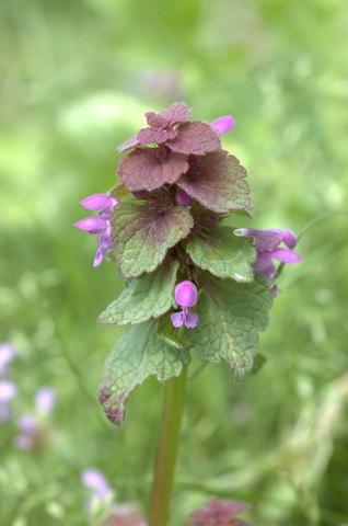 lamium-purpureum-dsc_2980